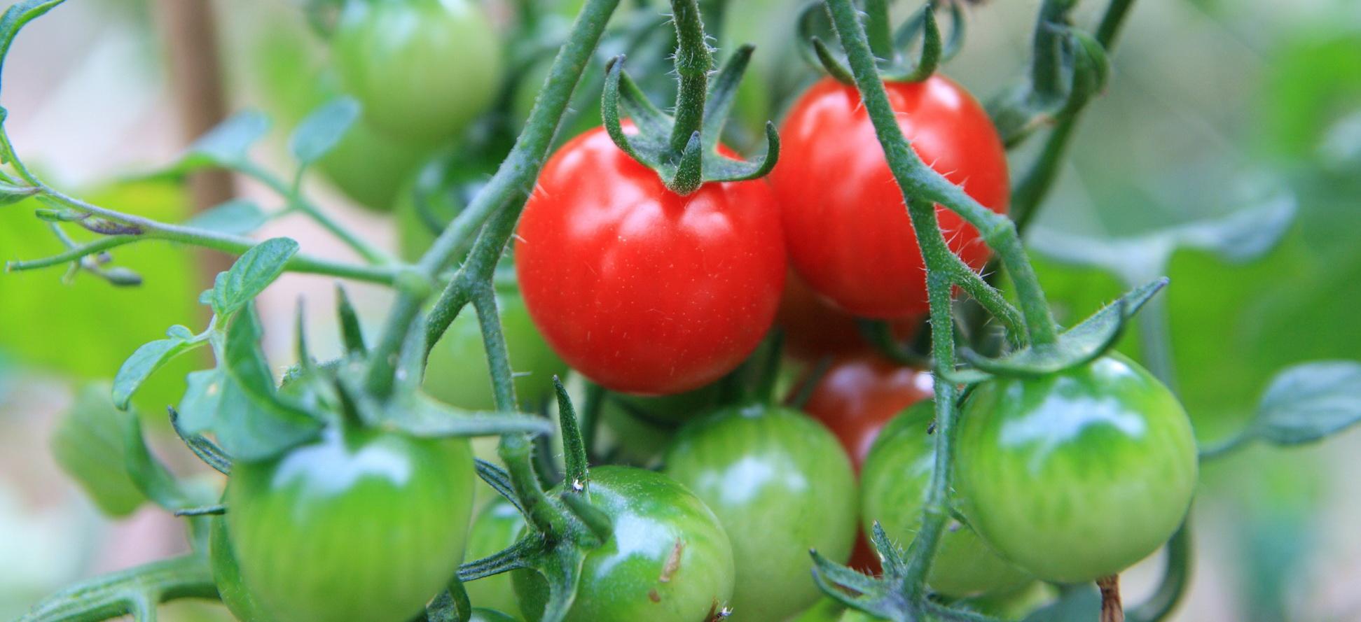 Cherry tomatoes 1900x800