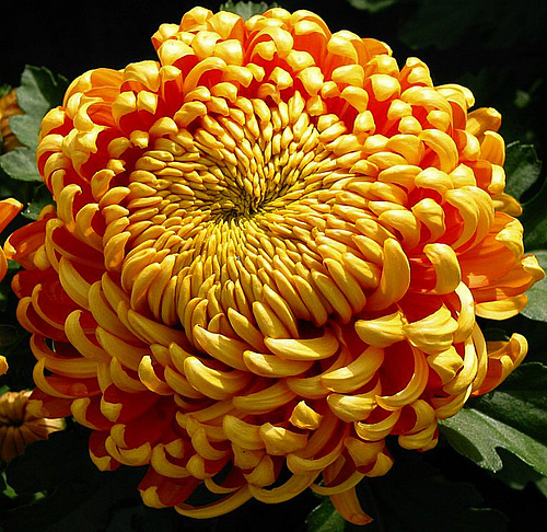 Chrysanthemum 600x486